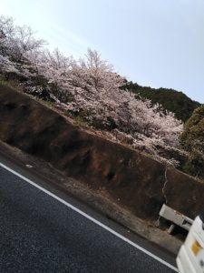 キレイな山桜