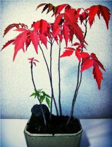 日本の盆栽が相性が抜群です!